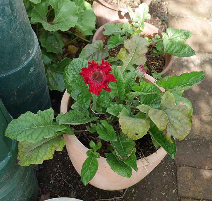 赤いガーベラが咲いた。2018年-4.jpg
