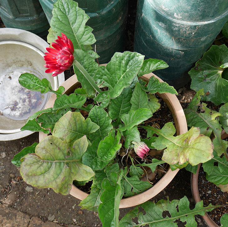 赤いガーベラが咲いた。2018年-7.jpg