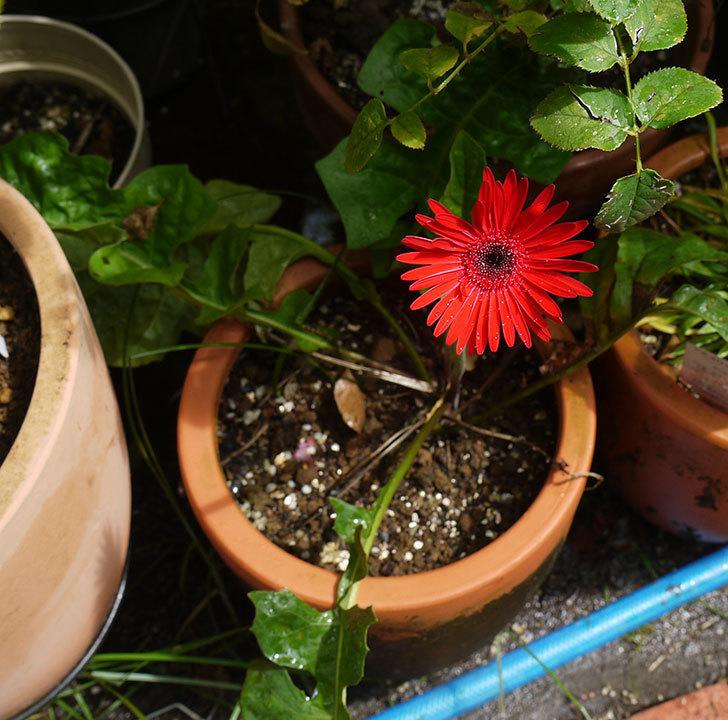 赤いガーベラが綺麗に咲いた。2016年-3.jpg