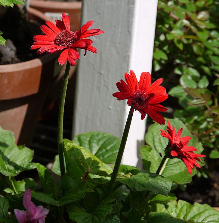 赤いガーベラの花が3個になった。2018年-4.jpg