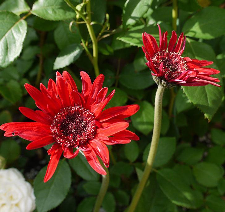 赤いガーベラの花が増えてきた。2017年-1.jpg