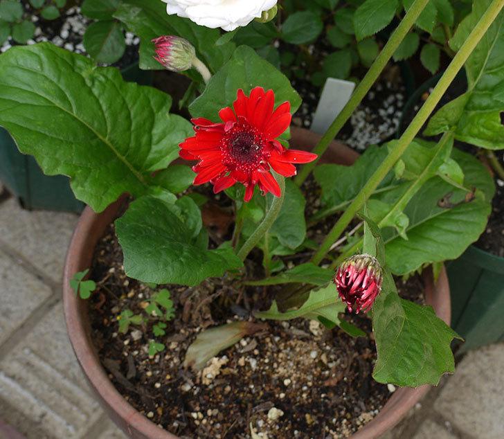 赤いガーベラの花が増えてきた。2017年-3.jpg