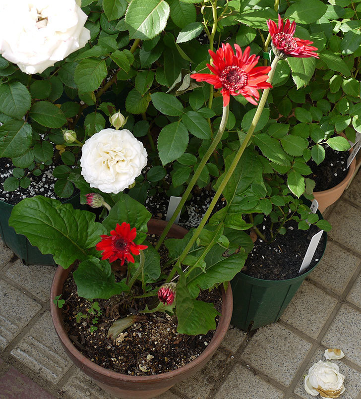 赤いガーベラの花が増えてきた。2017年-4.jpg