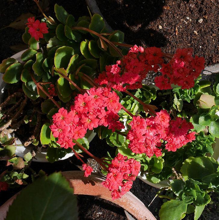 赤いクイーン・カランコエが咲いた。2018年-4.jpg