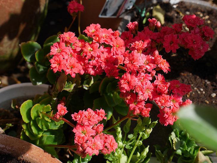 赤いクイーン・カランコエが咲いた。2018年-5.jpg