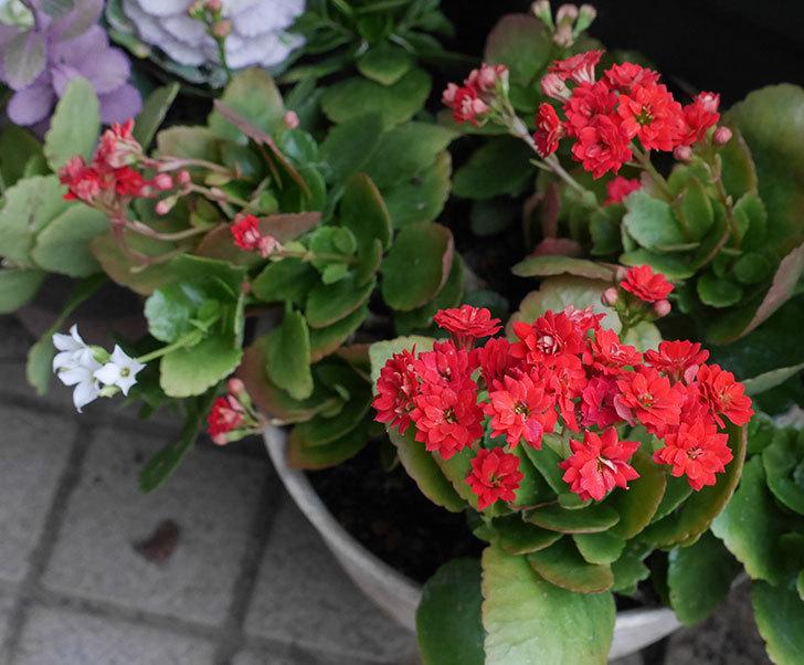 赤いクイーン・カランコエが咲いた。2020年-1.jpg