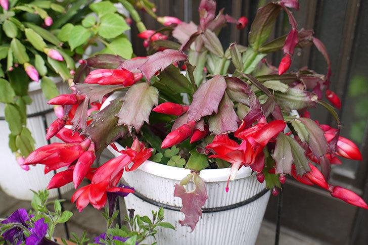 赤いシャコバサボテン(蝦蛄葉サボテン)が咲いた。2015年-1.jpg