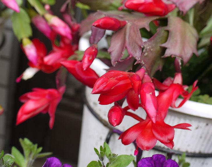 赤いシャコバサボテン(蝦蛄葉サボテン)が咲いた。2015年-3.jpg