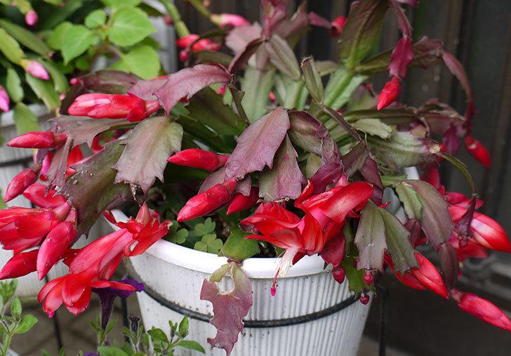 赤いシャコバサボテン(蝦蛄葉サボテン)が咲いた。2015年-4.jpg