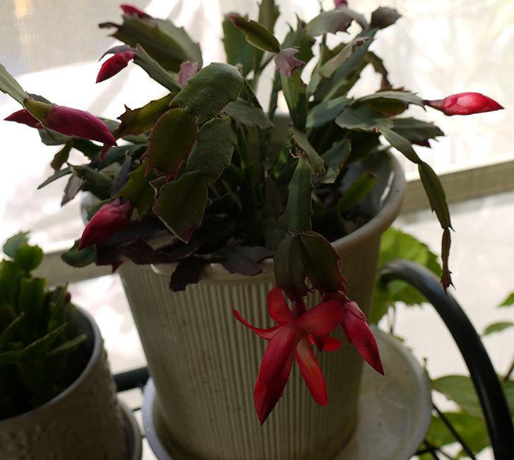 赤いシャコバサボテン(蝦蛄葉サボテン)の花が1個咲いた。2016年-2.jpg