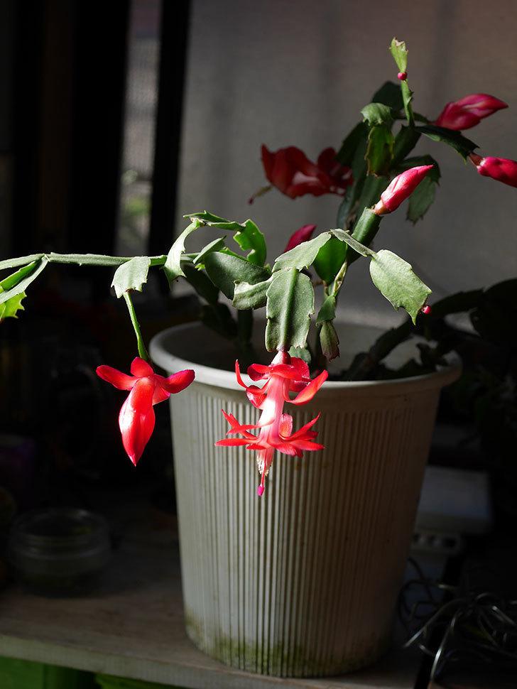 赤いシャコバサボテン(蝦蛄葉サボテン)の花が咲きだした。2020年-005.jpg
