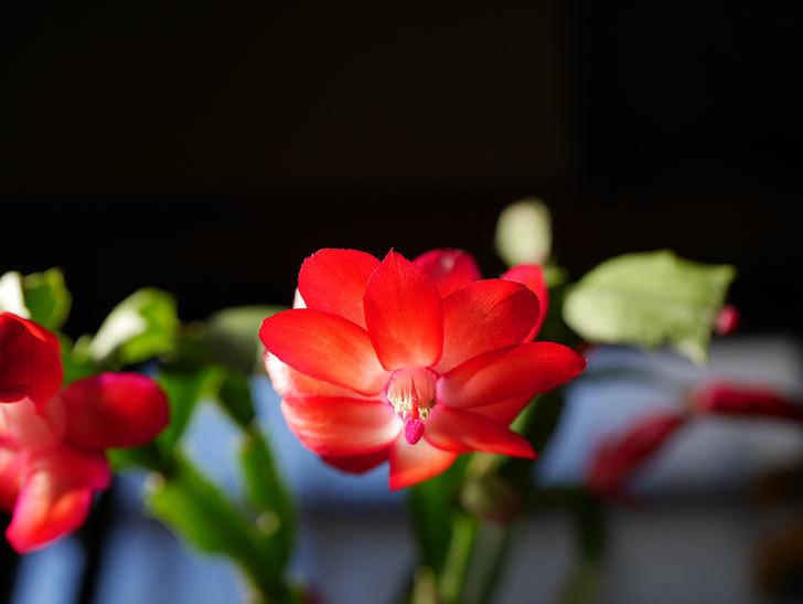 赤いシャコバサボテン(蝦蛄葉サボテン)の花が咲きだした。2020年-006.jpg