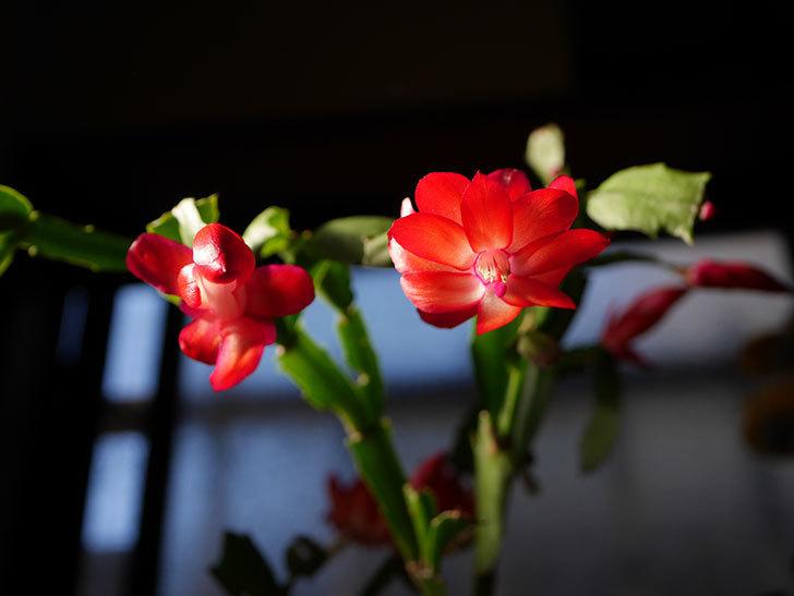 赤いシャコバサボテン(蝦蛄葉サボテン)の花が咲きだした。2020年-012.jpg