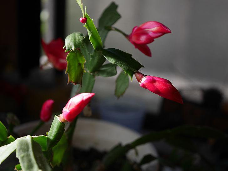 赤いシャコバサボテン(蝦蛄葉サボテン)の花が咲きだした。2020年-013.jpg