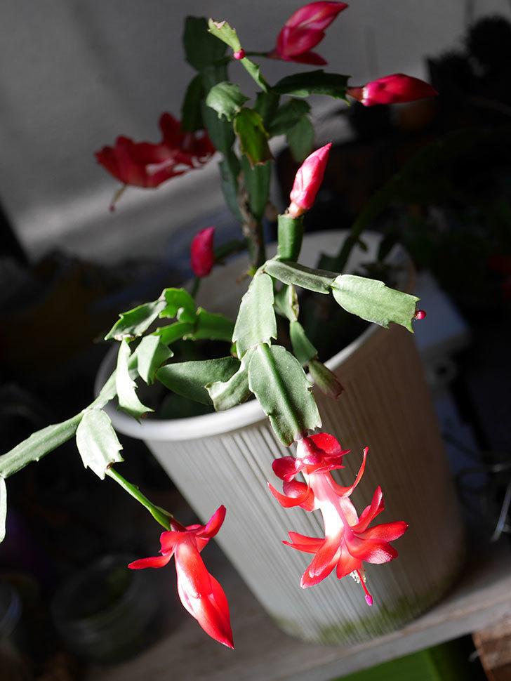 赤いシャコバサボテン(蝦蛄葉サボテン)の花が咲きだした。2020年-015.jpg