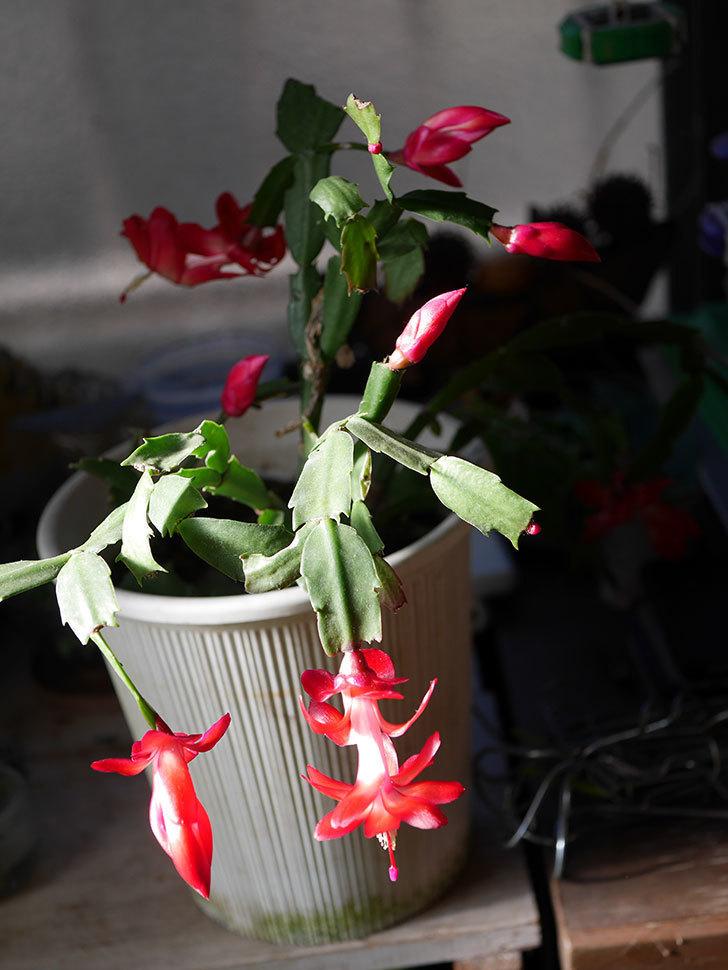 赤いシャコバサボテン(蝦蛄葉サボテン)の花が咲きだした。2020年-017.jpg