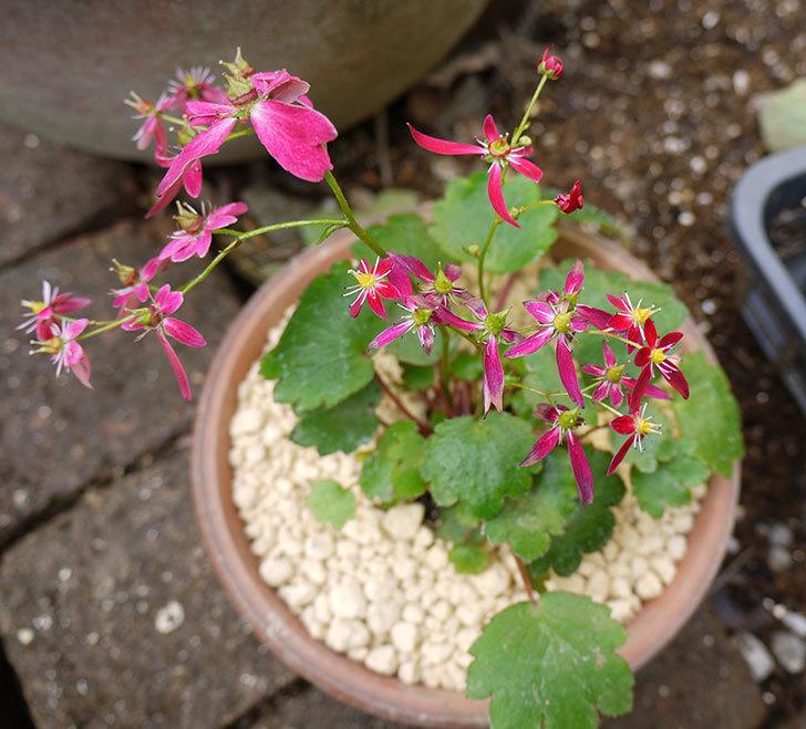 赤いダイモンジソウ(大文字草)を鉢に植えた。2016年-1.jpg