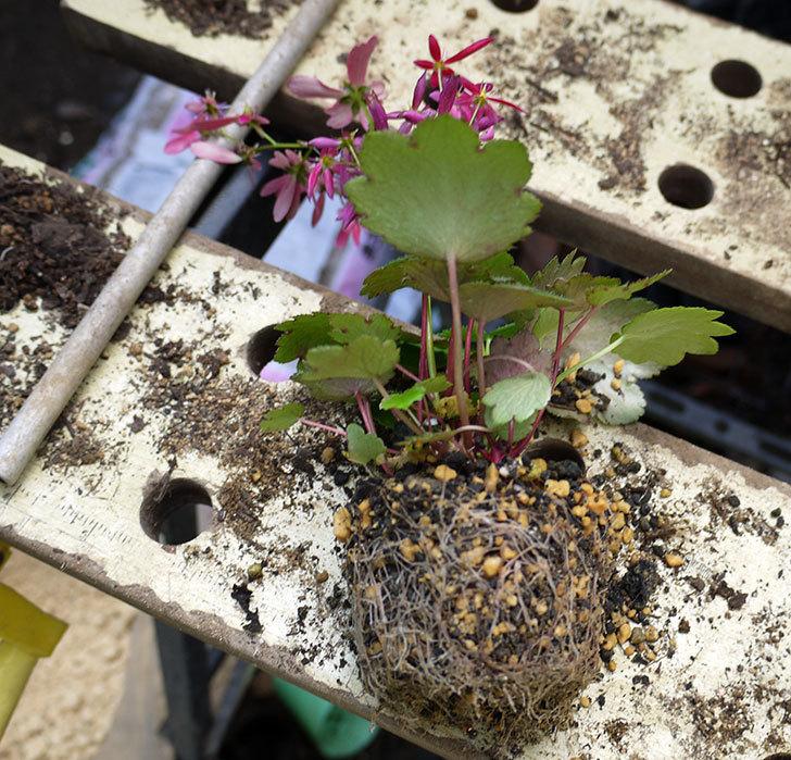 赤いダイモンジソウ(大文字草)を鉢に植えた。2016年-2.jpg