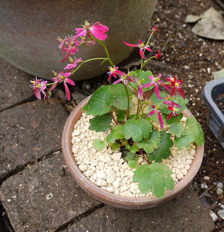 赤いダイモンジソウ(大文字草)を鉢に植えた。2016年-4.jpg