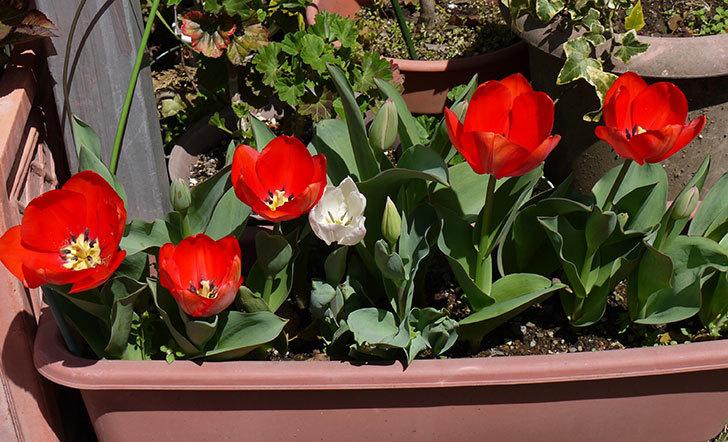 赤いチューリップが5こ咲いた1.jpg