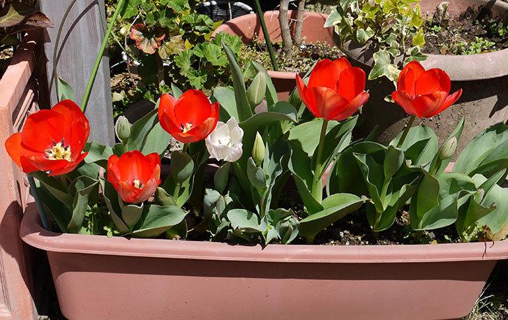 赤いチューリップが5こ咲いた2.jpg