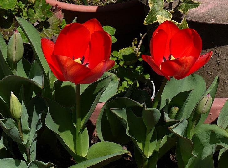 赤いチューリップが5こ咲いた4.jpg