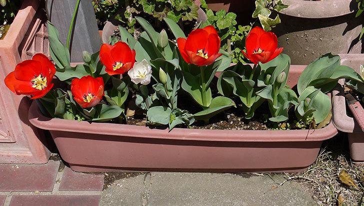 赤いチューリップが5こ咲いた5.jpg