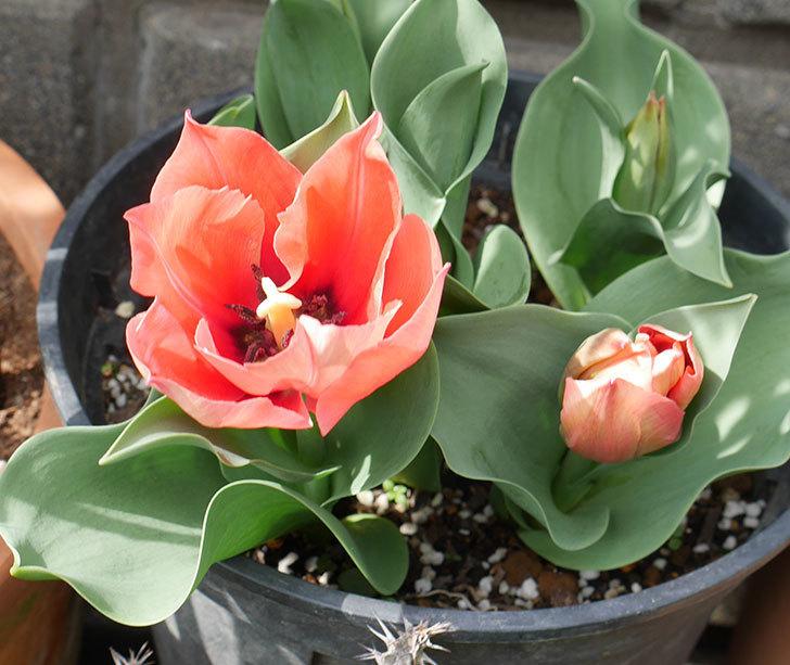 赤いチューリップが咲いた。2019年-10.jpg