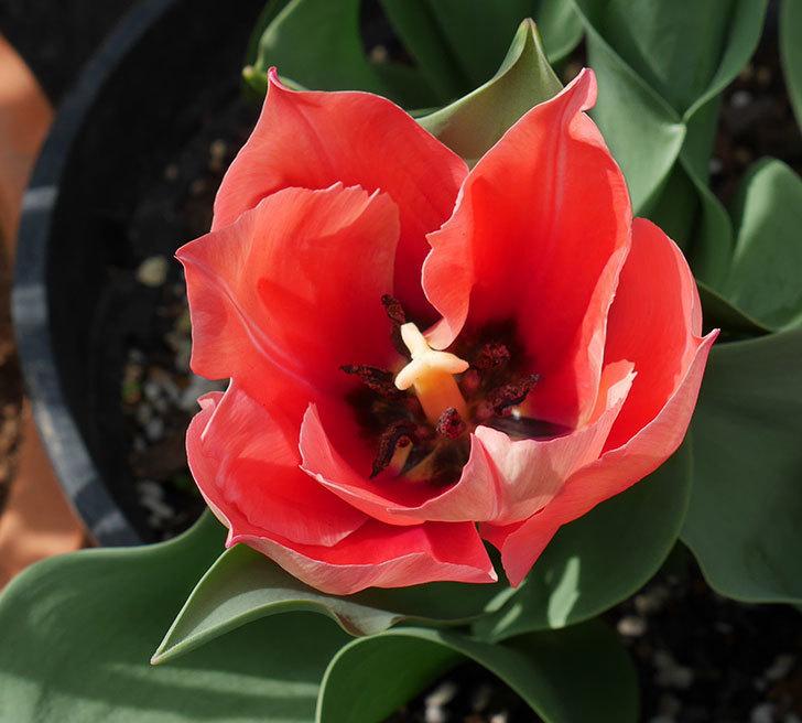 赤いチューリップが咲いた。2019年-11.jpg