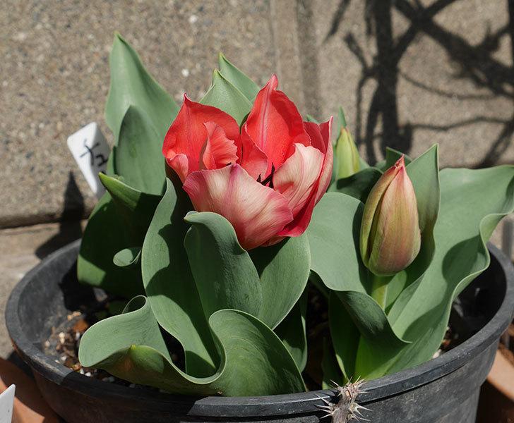 赤いチューリップが咲いた。2019年-5.jpg