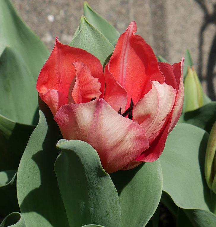 赤いチューリップが咲いた。2019年-6.jpg