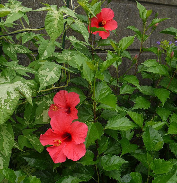 赤いハイビスカスが3個咲いた。2016年-2.jpg