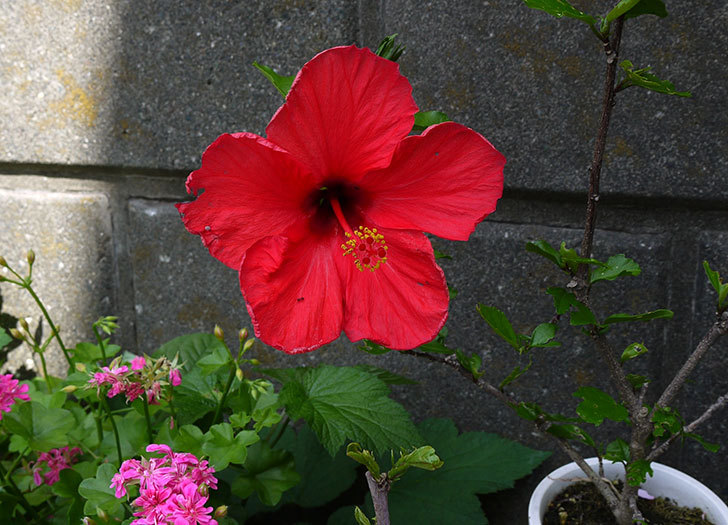 赤いハイビスカスが咲いた1.jpg