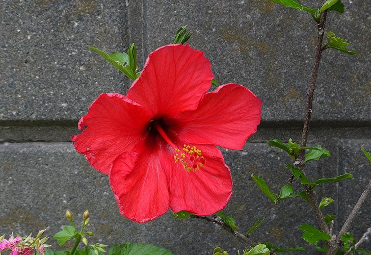 赤いハイビスカスが咲いた3.jpg