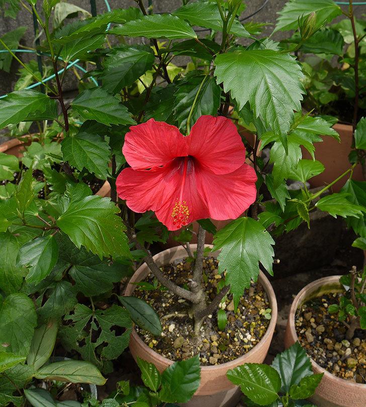 赤いハイビスカスが咲いた。2016年-3.jpg