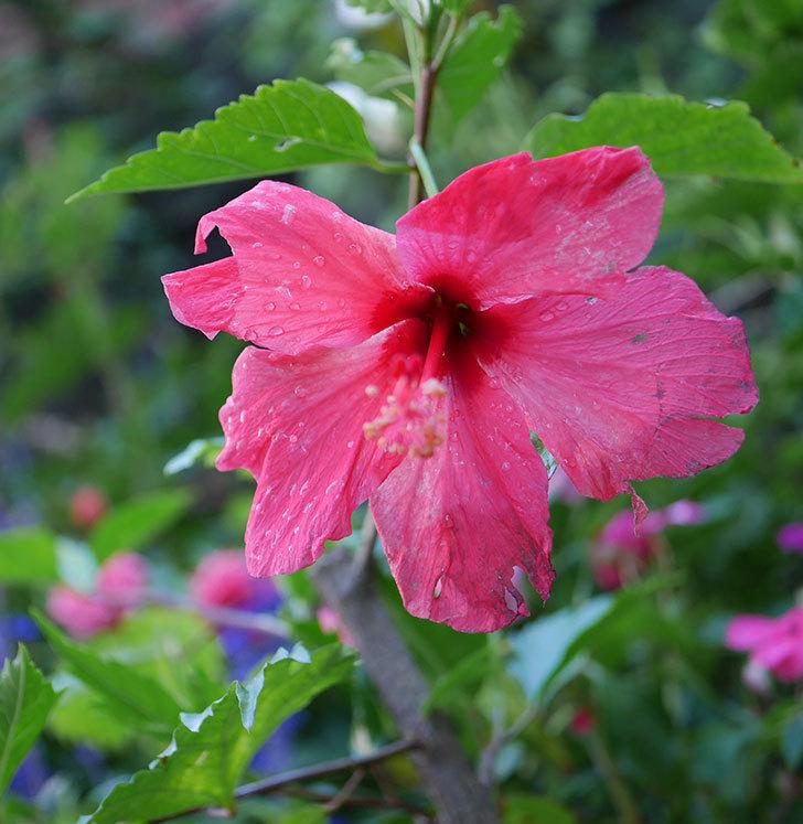 赤いハイビスカスに今年最初の花が咲いた。2019年-3.jpg