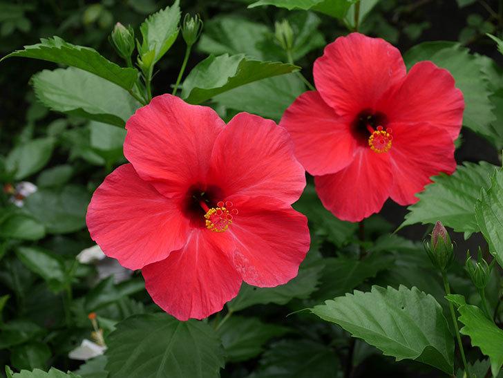 赤いハイビスカスの花が2個咲いた。2020年-001.jpg