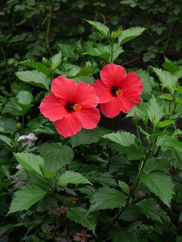 赤いハイビスカスの花が2個咲いた。2020年-002.jpg