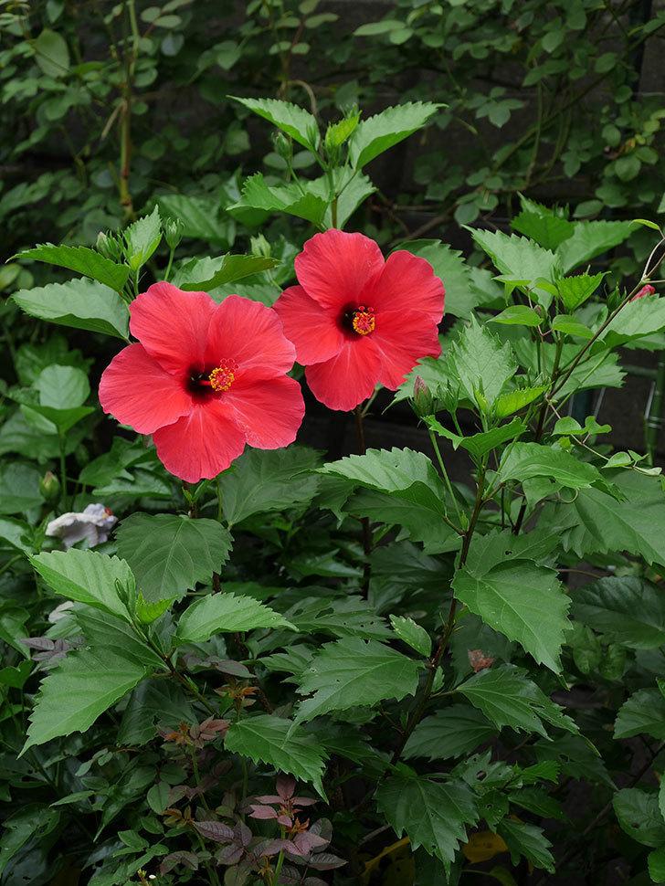 赤いハイビスカスの花が2個咲いた。2020年-003.jpg