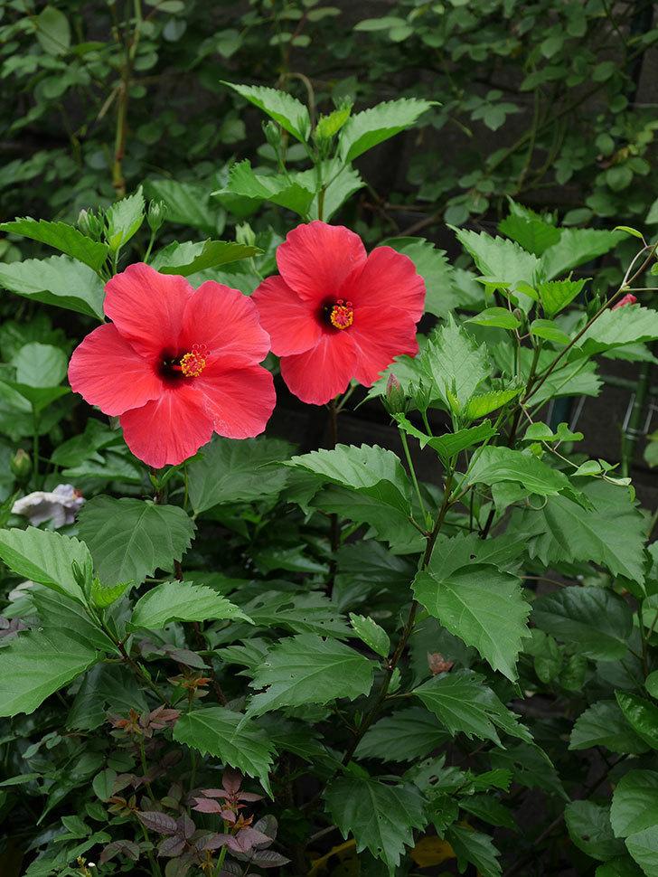 赤いハイビスカスの花が2個咲いた。2020年-004.jpg