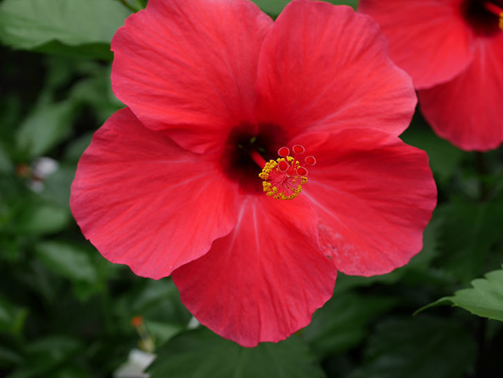 赤いハイビスカスの花が2個咲いた。2020年-005.jpg