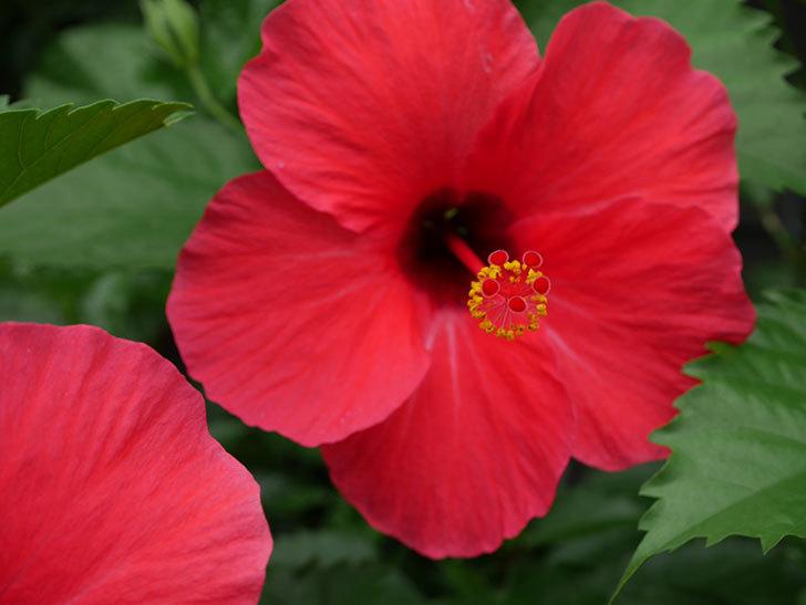 赤いハイビスカスの花が2個咲いた。2020年-006.jpg