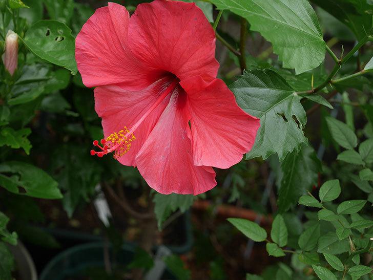 赤いハイビスカスの花が咲いた。2020年-005.jpg