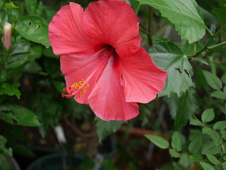 赤いハイビスカスの花が咲いた。2020年-006.jpg