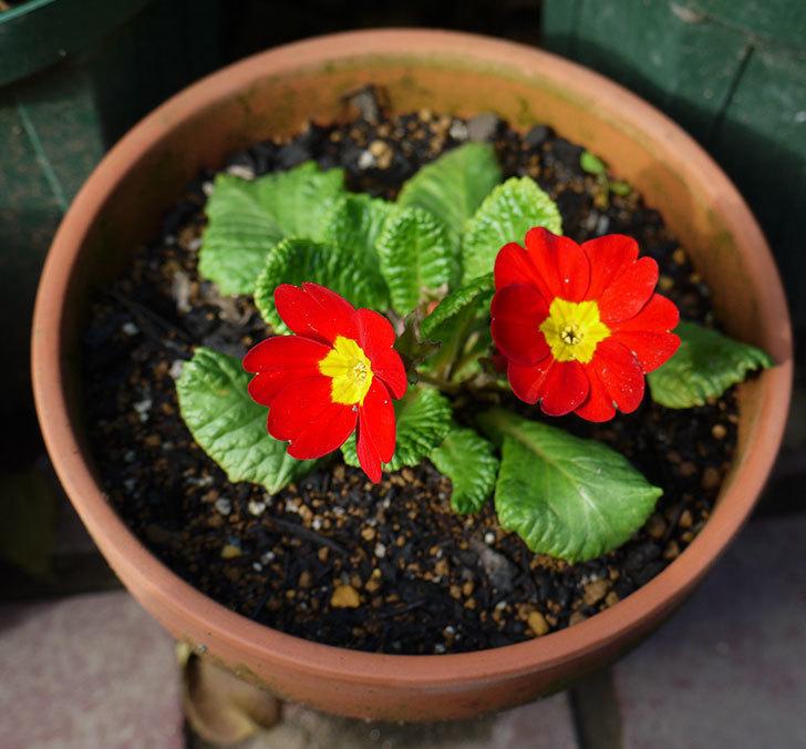 赤いプリムラ・ジュリアンが咲いた。2016年-1.jpg