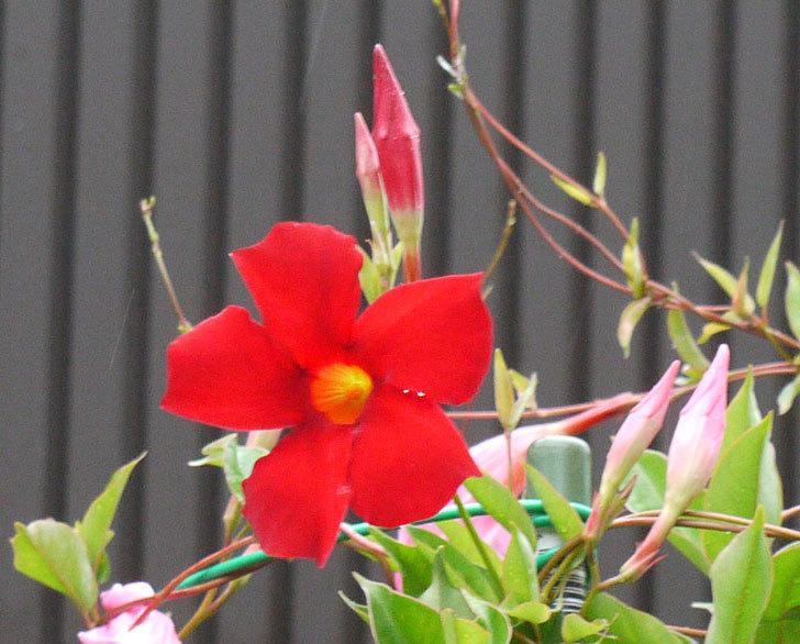 赤いマンデビラがまた咲きだした。2016年-2.jpg