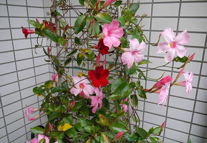 赤いマンデビラが咲いた1.jpg