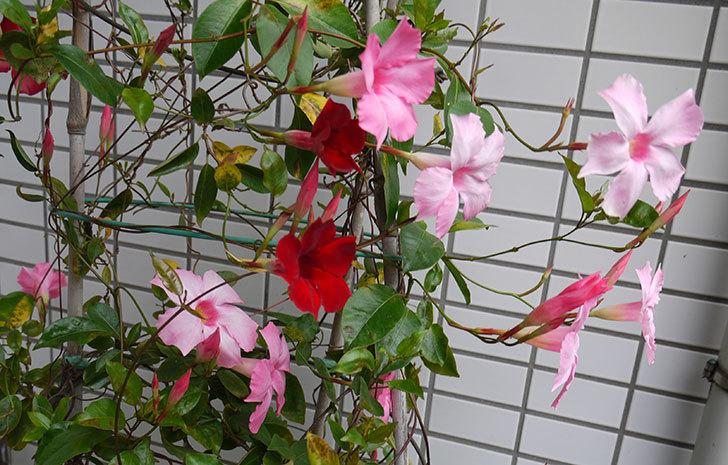 赤いマンデビラが咲いた2.jpg