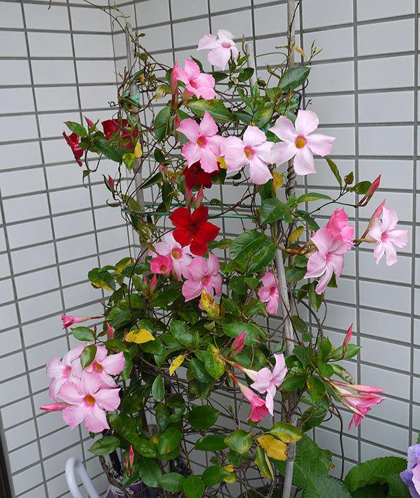 赤いマンデビラが咲いた3.jpg