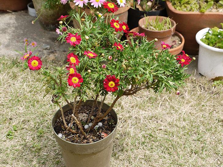 赤いマーガレットが咲いた2.jpg